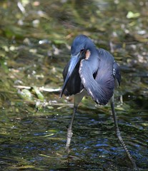 Heron at Mead Gardens (Big Ol' Buzzard) Tags: birdbrained winterparkfl meadgardens birdsbirdsbirds