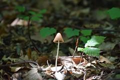 In to the wood ... (zuul72) Tags: wood mashroom bosco fungo sottobosco