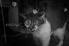 Gato y luciernagas (Pilar Pujol) Tags: cat gato luciernagas pilarpujol