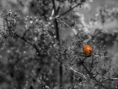 ladybird (marc_morris1982) Tags: uk red blackandwhite bw colour nature monochrome field bug insect outside lumix mono kent sticks afternoon dof sunny olympus canterbury bugs depthoffield panasonic crop ladybird leafs zuiko bnw m43 1442 gm1 colourselect 1442mm olympus1442 olympus1442mm wincheap micro43 microfourthirds mzuiko mfourthirds panasonicuk dmcgm1 lumixgm1 panasonicgm1