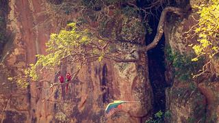 Magic Macaw Tree