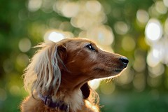 Backlit Cookie and Bokeh (35mmMan) Tags: england 50mm nikon cookie bokeh dachshund backlit hertfordshire miniaturedachshund d5300