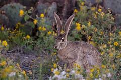 Flower Power (gseloff) Tags: fauna flora wildlife westtexas jackrabbit chihuahuandesert bigbendranchstatepark bbrsp gseloff