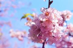 Cerejeiras Parque do Carmo - 2015 (Thai) Tags: sakura hanami
