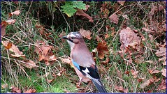 Jay (postman.pete) Tags: blue autumn wild england sky flower leaves canon fire squirrel tit jay berries web moth feeder starling fungi ladybird magpie clover essex harlequin caeruleus cyanistes