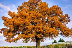 Old oak tree (Magnus_SWE) Tags: autumn tree oak fujifilm xt1