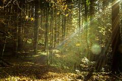 on a sunny november day in the woods (Schub@) Tags: autumn light sun fall forest licht sony herbst sigma e rays alpha sonne wald f28 flares naturpark naturschutzgebiet nex 19mm strahlen bannwald welzheim remsmurrkreis a6000 schwbischerwald emount wieslaufschlucht ilce6000
