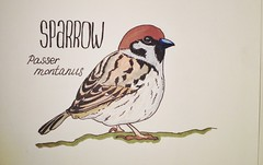 Sparrow (Kate_Lokteva) Tags: bird art sketch drawing sketchbook sparrow marker draw markers artworks letraset    promarker promarkers