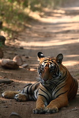 Royal Bengal Tiger (Panthera Tigris Tigris) (nilesh_fatnaney) Tags: tiger royal bengal tigris panthera pantheratigristigris royalbengaltiger royalbengaltigerpantheratigristigris