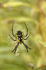 Black & Yellow Garden Spider (Mark Kaletka) Tags: black yellow garden spider illinois web gardenspider