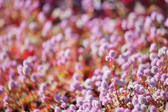 姫蔓蕎麦/Polygonum capitatum (nobuflickr) Tags: flower nature japan kyoto 姫蔓蕎麦 polygonumcapitatum thekyotobotanicalgarden pinkheadknotweed awesomeblossoms ひめつるそば タデ科タデ属 tkp2 20151111dsc01436
