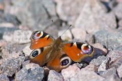Tagpfauenauge (Aglais io) (Nature_77) Tags: 100v10f lepidoptera steine falter flgel insecta schotter nymphalidae nymphalinae fhler tagfalter edelfalter fleckenfalter