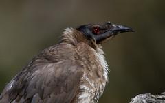 noisy friarbird (Philemon corniculatus)-8498-2 (rawshorty) Tags: birds australia canberra act
