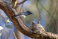 0I6A7584 Leaden Flycatcher (Male feeding at nest) (copsychus) Tags: bird birds australia breeding canberra act nesting 2015 leadenflycatcher pineislandreserve