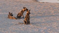 20151108_Shinde_0133.jpg (eLiL1860) Tags: botswana okavango tierwelt africanwilddogs safari2015