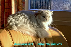 Bonne année 2016 - Happy New Year 2016 (Chemose) Tags: new portrait pet cat canon happy eos persian chat year chinchilla 7d bonne hdr happynewyear voeux année vœux 2016 persan happynewyear2016