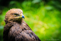 That look, that smile! (P & Y Photography) Tags: nature bird bayern canon6d 100400 green yellow black bokeh trees animal smile eye raptor clever severe spotlight light shadow eagle lesserspottedeagle nationalparkbayern germany foliage wilderness wild mysterious birdofprey