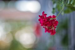 Gitanillas 2 (Carmen T. Chaguaceda) Tags: flores flowers geranios bokeh desenfoque naturaleza rojo