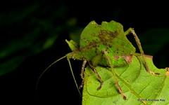 Leaf mimicking katydid, Typophyllum morrisi (Ecuador Megadiverso) Tags: andreaskay ecuador amazon grasshopper holavida katydid leafmimickingkatydid orthoptera phaneropteridae tettigoniidae typophyllummorrisi