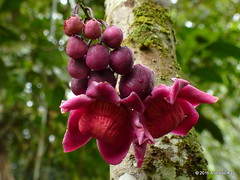 Eschweilera sp., Lecythidaceae (Ecuador Megadiverso) Tags: andreaskay ecuador eschweilerasp flower lecythidaceae tree