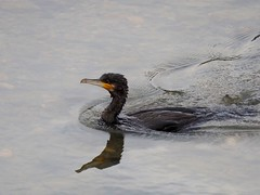 Great cormorant () (Greg Peterson in Japan) Tags: shiga birds cormorants wildlife deba japan yasugawa ritto rivers shigaprefecture jpn