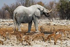 Busy Waterhole (C McCann) Tags: elephant impala blackfacedimpala etosha namibia nationalpark africa afrika waterhole drinking animal animals wild wildlife wildlifephotography