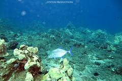 IMG_0040 copy (Aaron Lynton) Tags: lyntonproductions scuba diving snorkel underwater maui hawaii onebreath turtle honu hawaiiangreenseaturtle hawaiian greenseaturtle seaturtle canon g1x