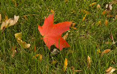 Red on Green (rumimume) Tags: potd rumimume 2016 niagara ontario canada photo canon 550d t2i sigma fall autumn outdoor leaf leaves red yellow