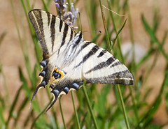 Scarce swallowtail (Iphiclides podalirius), Chateau de Peyrepertuse (Niall Corbet) Tags: france languedoc roussillon occitanie aude peyrepertuse swallowtail scarceswallowtail iphiclidespodalirius butterfly
