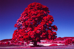 Red October (Egil Aassved) Tags: frosta aerochrome tree norway