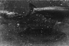 Night Sea Journey (pantagrapher) Tags: ballard locks seattle salmon spawning life death swim bw nature ricoh grii