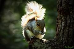 Grey Squirrel at Stover Park, Devon, UK. Image 3. (ronalddavey80) Tags: squirrel willife canon eos70d