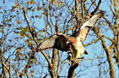 Red Tailed Hawk (The Old Texan) Tags: hawk d7000 nikon texas tamron