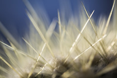 20161013_F0001: Layered glass needles? (wfxue) Tags: cactus needles spines plant biology macro