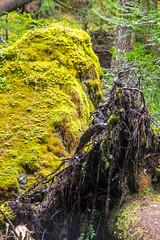DSCF4327 (LEo Spizzirri) Tags: bevin morgan peter odin huck huckleberry shug cabin northwest seattle forest pacific mushroom moss josh betsy ladder green thick
