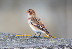 Snow Bunting (Steve Moore-Vale) Tags: birds england florafauna lowestoft places plectrophenaxnivalis portrait seawall snowbunting suffolk unitedkingdom wildlife winter bokeh coastal migrant passerines