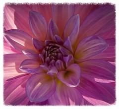 Springtime Glory (Katrina Wright) Tags: dsc0009 flower pink purple dahlia crimson macro