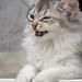 Laughing kitten