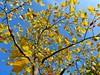 Gent herfst detail (2) (Johnny Cooman) Tags: gentmariakerke vlaanderen belgië bel gent ghent gand gante natuur belgium ベルギー flemishregion flandre flandes flanders flandern bélgica belgique belgien belgia flhregion eastflanders flora aaa panasonicdmcfz200 oostvlaanderen herfst autumn tree boom baum arbre