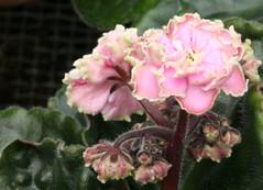 15-IMG_4739 (hemingwayfoto) Tags: berggartenhannover blhen blte blume flora floristik natur topfpflanze usambara usambaraveilchenleprehaunsdaydream veilchen zierpflanze zuchtform