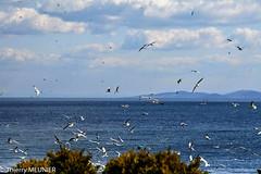 birds flights (thierry_meunier) Tags: istanbul turkey turquie bird bosphor exterieur mer mouette oiseau sea travel voyage