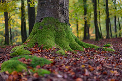 Green shoes (dlorenz69) Tags: oak beech trees trunk moss moos baum baumstamm boden ground forest wald waldboden bltter leaves fallen fall herbst autumn green colors farben grn bemoost wurzeln roots hessen taunus germany season close natur