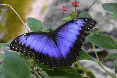Blue Morpho Butterfly (C. P. Ewing) Tags: butterfly butterflies animal animals insect blue morpho colorful nature natural outdoors outdoor macro macros green flower flowers red