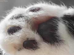 High four! (GaboUruguay) Tags: paw pata cat gato huellas catspaw mammal quadruped claw garra mamifero hair pelo pads pad pfote katze vorderpfote anyathecat anya detail closeup macro canon sx50 raynox dcr250 animalia chordata synapsida mammalia carnivora felidae felis catus domestic furry carnivorous pet mascota felids felido felino hauskatze minino micho mizo miz chat mammifre carnivore animaux