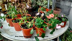 Busy Lizzies (Impatiens) just planted up on balcony 24th October 2016 (D@viD_2.011) Tags: busy lizzies impatiens just planted up balcony 24th october 2016