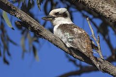 Laughing Kookaburra 2016-10-13 (60D_4237) (ajhaysom) Tags: laughingkookaburra dacelonovaeguineae woodlandshistoricpark greenvale melbourne australia australianbirds canoneos60d sigma150600