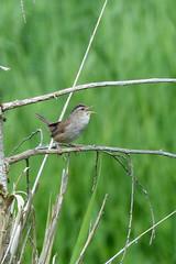 Marsh Wren (Delta Naturalists Casual Birding) Tags: 201619 dncb colony dncblocation dncboutingid