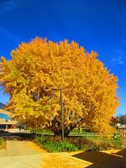 Ginkgo Tree UWW 2 (elsencj) Tags: ginkgo tree uww 2