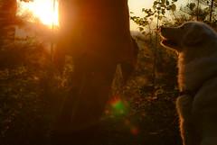 Sunrise mission at one of our favorite spots in the forest (balu51) Tags: morgenspaziergang waldsonnenaufgang sonne gegenlicht hund kuvasz ungarischerhirtenhund herbst 60mm selbstauslser morning morningwalk sunrise sun golden goldenhour backlight dog forest autumn fall oktober 2016 copyrightbybalu51