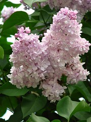 """ "".   . (lubovphotographer) Tags: nature syringa flowers flowerpower flower picturethis samsunggalaxycamera phonephotography photograph photographylovers smartphonephot photographylover"